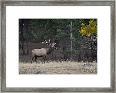 Framed Print featuring the photograph Lone Elk Warrior by Nava Thompson