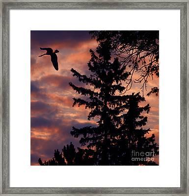 Lone Goose Framed Print by Marjorie Imbeau