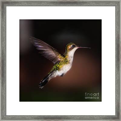 Lone Hummingbird Framed Print