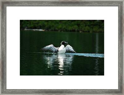 Lone Loon Framed Print