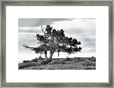 Lone Pine Tree Framed Print