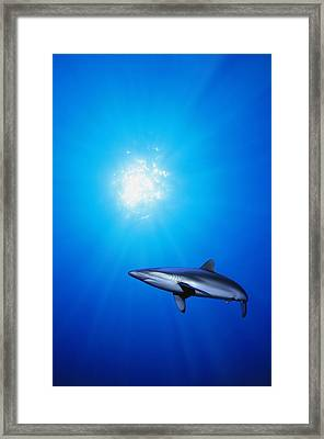 Lone Shark Illuminated By Underwater Framed Print by Carson Ganci