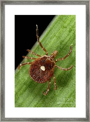 Lone Star Tick Female Framed Print by Science Source