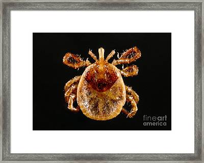 Lone Star Tick Nymph Framed Print by Science Source