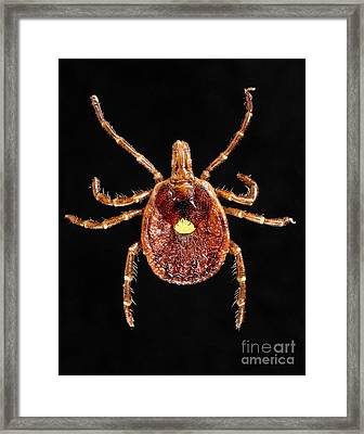 Lone Star Tick Framed Print by Science Source