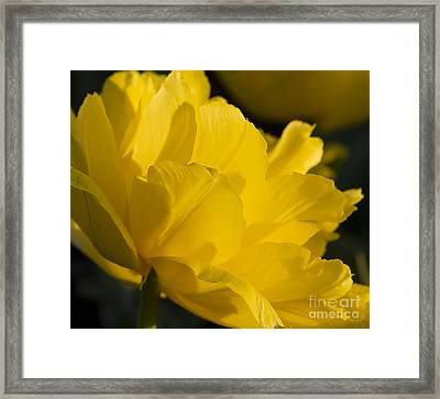 Lone Tulip  Tulipe Seule Framed Print by Nicole  Cloutier Photographie Evolution Photography