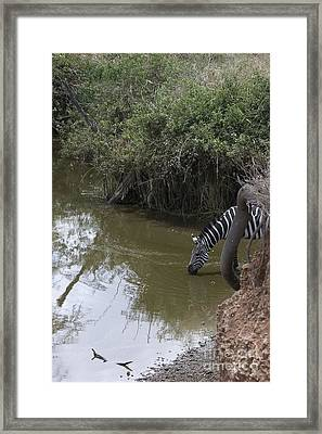 Lone Zebra At The Drinking Hole Framed Print by Darcy Michaelchuk