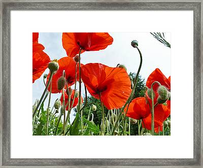 Lonely Withering Poppies Framed Print by Aleksandr Volkov