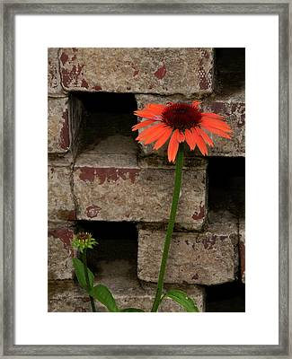 Lonely Zinnia On Wall Framed Print