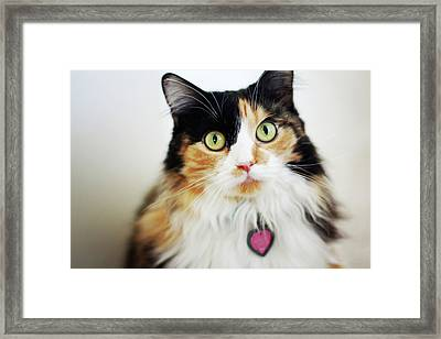 Long Haired Calico Cat Framed Print by Genevieve Morrison