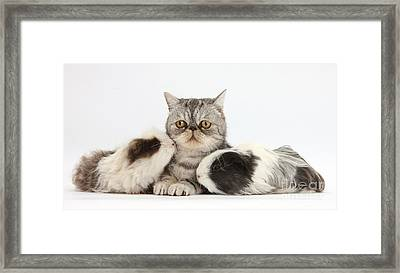 Long-haired Guinea Pigs And Silver Framed Print
