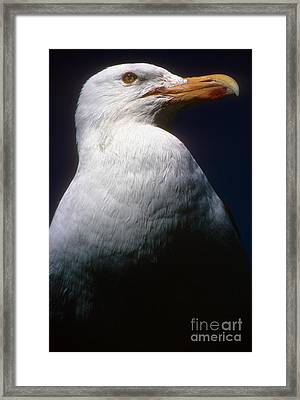 Long Island Seagull Framed Print