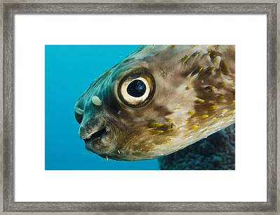 Long-spine Porcupinefish Diodon Framed Print by Pete Oxford