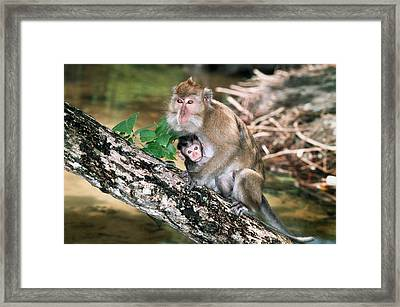 Long-tailed Macaque Mother And Baby Framed Print by Georgette Douwma