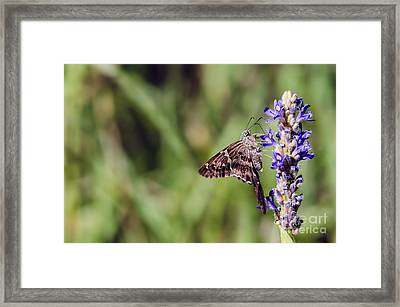 Long-tailed Skipper Butterfly Framed Print by Cindy Bryant
