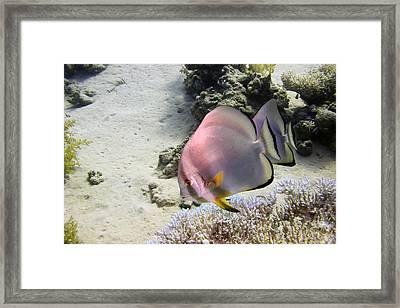 Longfin Batfish Framed Print by Dimitris Neroulias