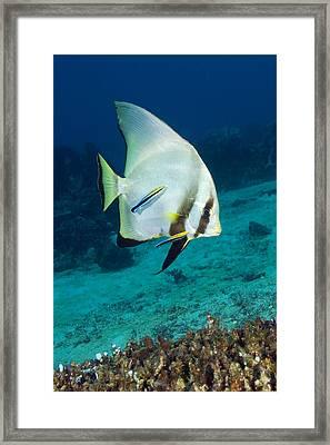 Longfin Batfish Framed Print by Matthew Oldfield