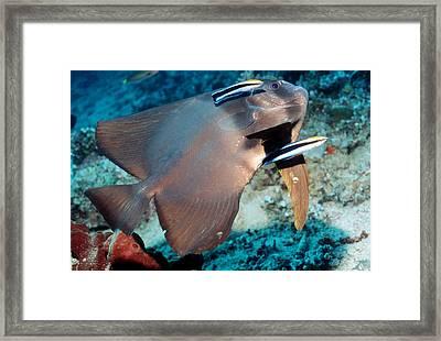 Longfin Spadefish Framed Print by Georgette Douwma