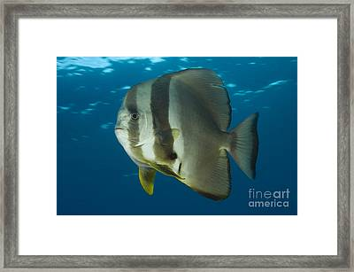 Longfin Spadefish, Papua New Guinea Framed Print by Steve Jones