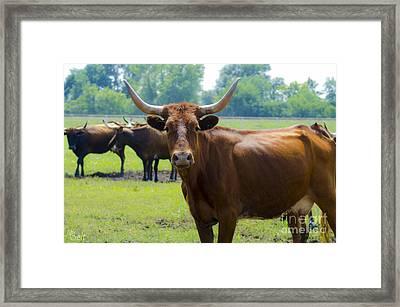 Longhorns At Waterloo Framed Print by Christine Belt