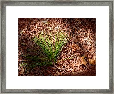 Longleaf Pine Needles Framed Print by John Myers