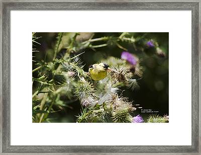 Look At Me - Lesser Goldfinch Framed Print