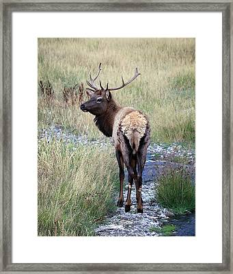 Framed Print featuring the photograph Looking Back Bull by Steve McKinzie