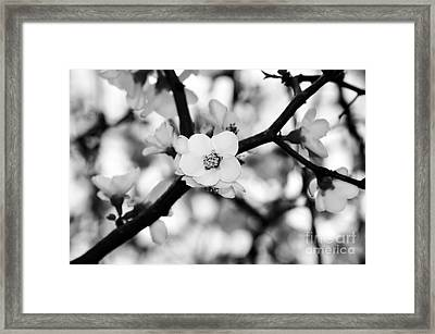 Looking Through The Blossoms - Black And White Framed Print by Kaye Menner