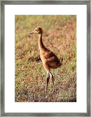 Sandhill Chick Looking To The Future Framed Print by Carol Groenen