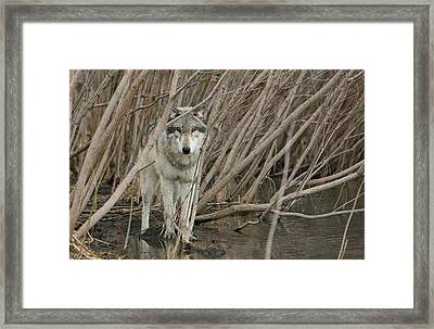 Looking Wild Framed Print