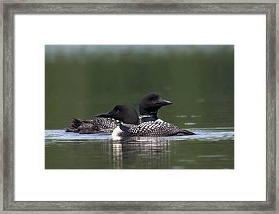 Loons - Huard Framed Print