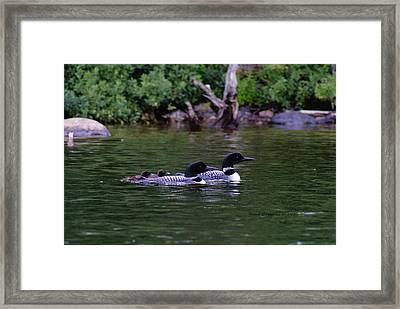 Framed Print featuring the photograph Loons With Twins 2 by Steven Clipperton