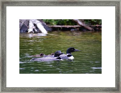 Framed Print featuring the photograph Loons With Twins 4 by Steven Clipperton