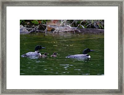 Framed Print featuring the photograph Loons With Twins by Steven Clipperton