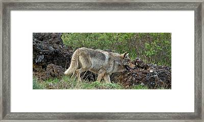 Lord Of The Shoshone Framed Print by Sandy Sisti