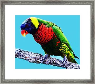 Lory Bird Framed Print by Paulette Thomas