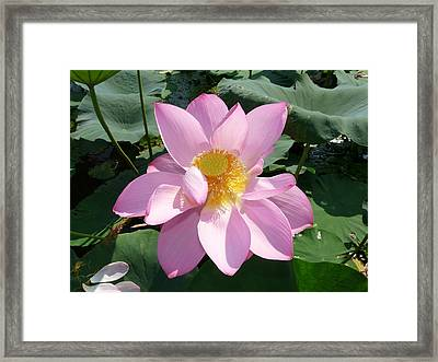 Lotus 1 Framed Print by Susan McNamara