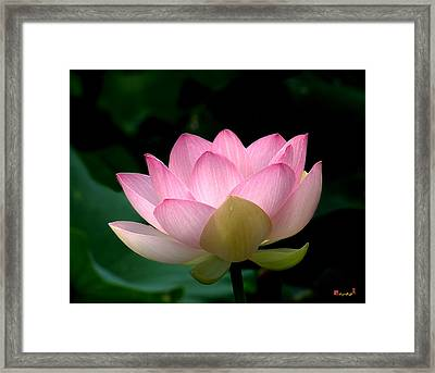 Lotus Beauty--blushing Dl003 Framed Print