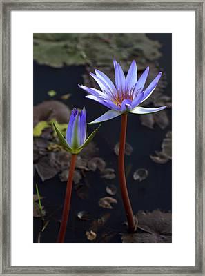 Lotus Blooms Framed Print by Nabil Kannan