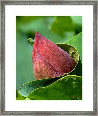 Lotus Bud--bud In A Blanket Dl049 Framed Print