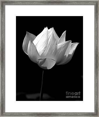 Lotus Bw Framed Print