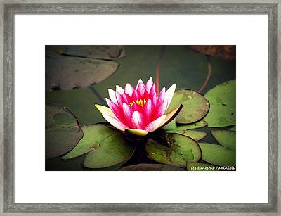 Lotus Framed Print by Ernestas Papinigis