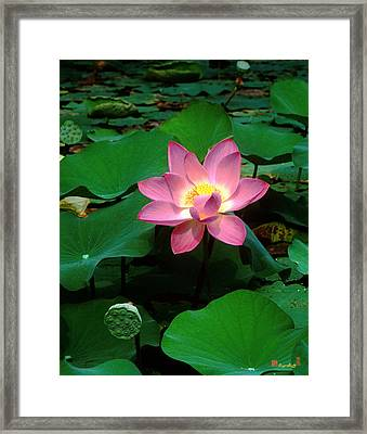 Lotus Flower And Capsule 24a Framed Print