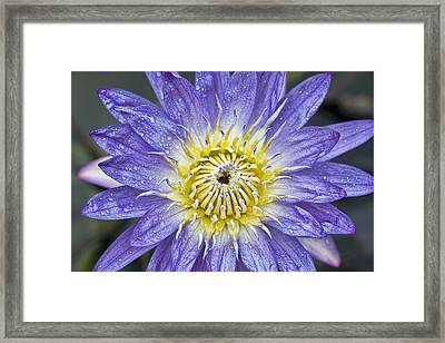 Lotus Framed Print by Karen Walzer