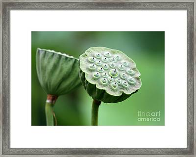 Lotus Seed Pods Framed Print by Sabrina L Ryan
