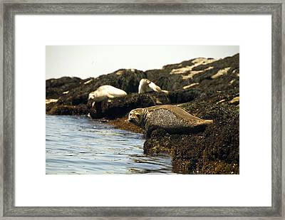 Lounging Seals Framed Print