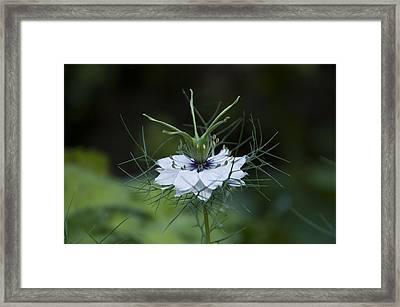 Love In A Mist Framed Print by Rob Hemphill