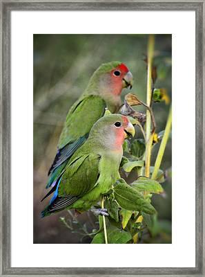 Lovebird Couple  Framed Print