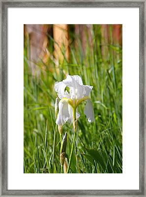 Lovely White Iris In Field Of Grass Framed Print