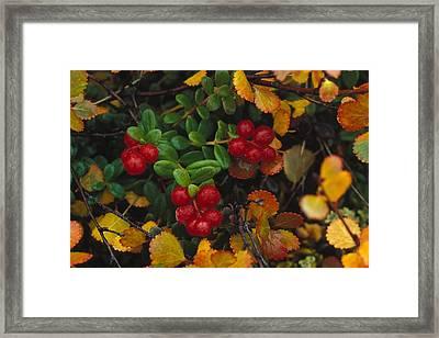 Lowbush Cranberries Vaccinium Vitis Framed Print by Nick Norman
